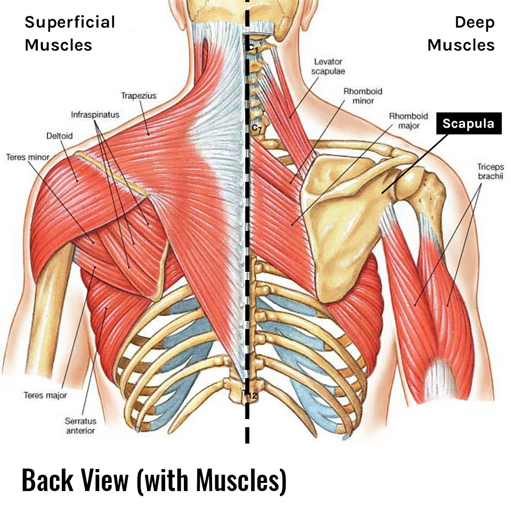 Scapula & Muscles